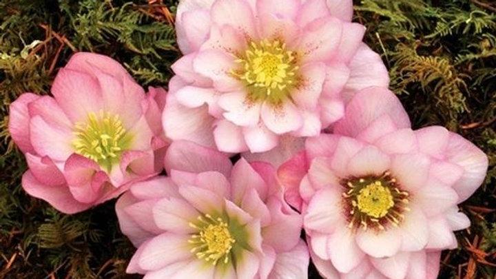 Helleborus Cotton Candy