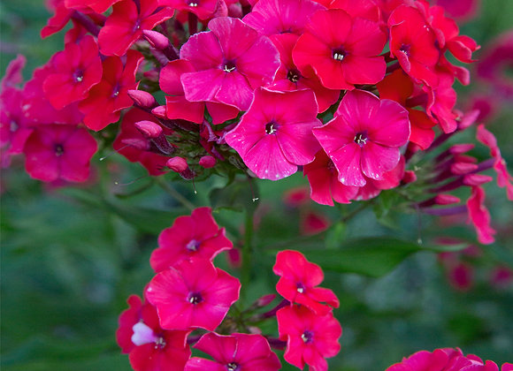 Phlox paniculata Miss Mary