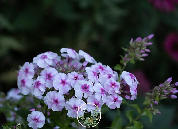 Phlox paniculata Cherry Cream