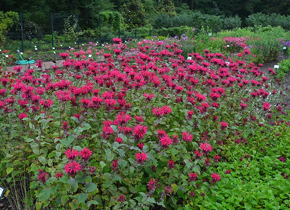 Monarda Colrain Red