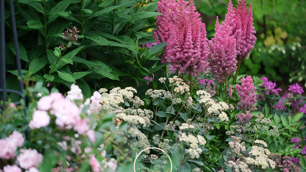 Astilbe chinensis Surprise Party