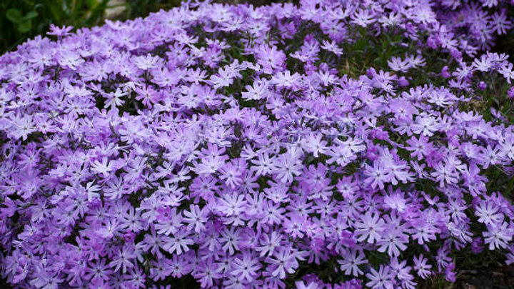 Phlox Bedazzled Lavender