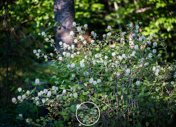 Fothergilla gardenii Mt.Airy
