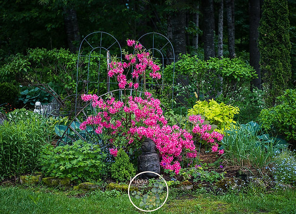 Rhododendron (azalea) Rosy Lights