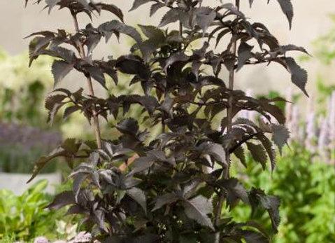 Sambucus nigra Black Tower