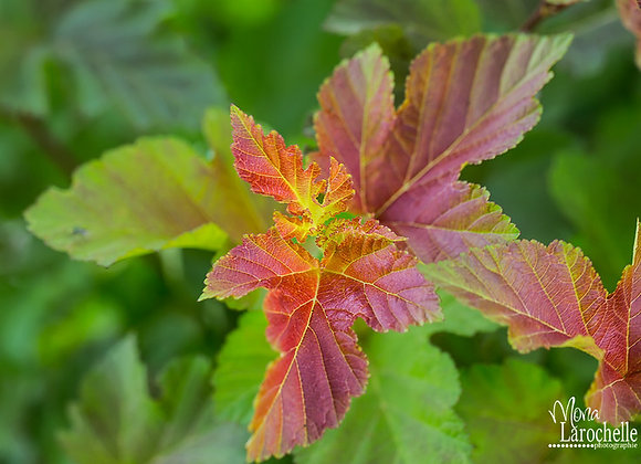 Physocarpus Amber Jubilee