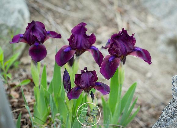 Iris pumila Cherry Garden