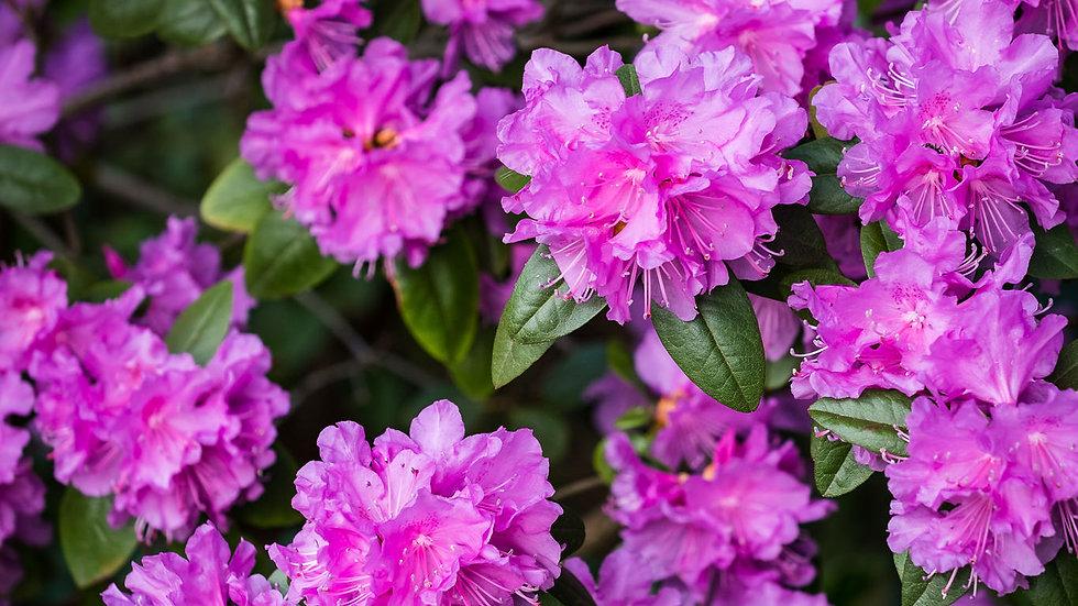 Rhododendron PJ Mezitt Compact