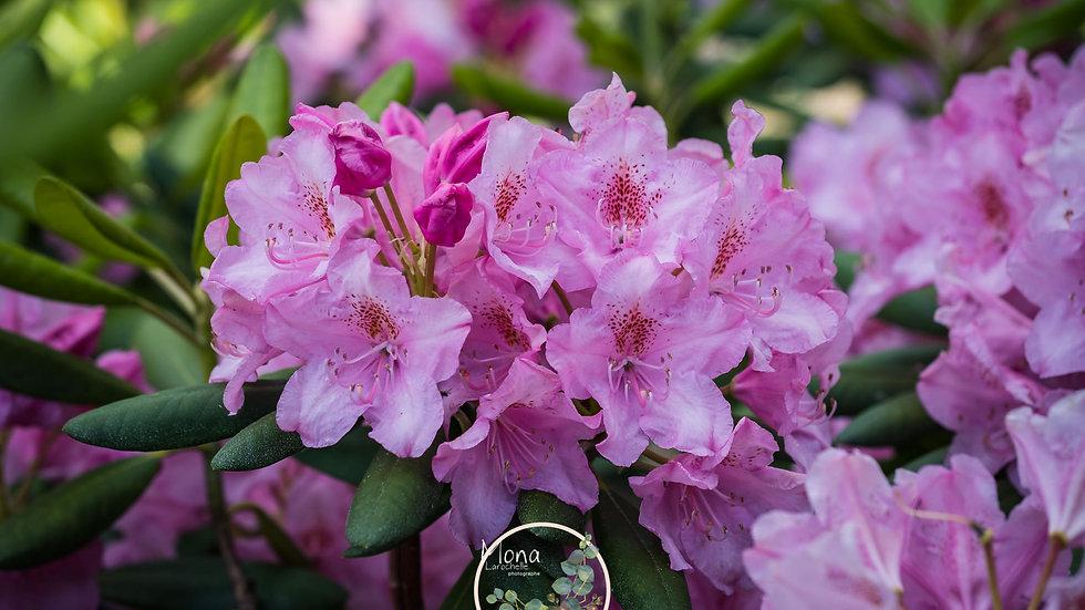 Rhododendron finlandais Helsinky University