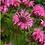 Thumbnail: Monarda Bee Lieve