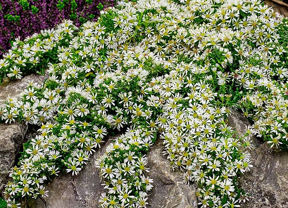 Aster ericoides Snow Flurry