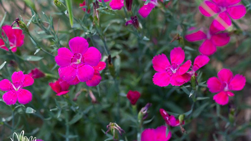 Dianthus deltoides Zing Rose