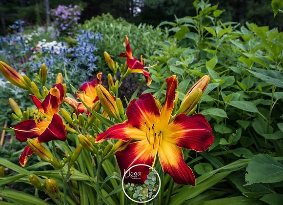 Hemerocallis Ruby Spider
