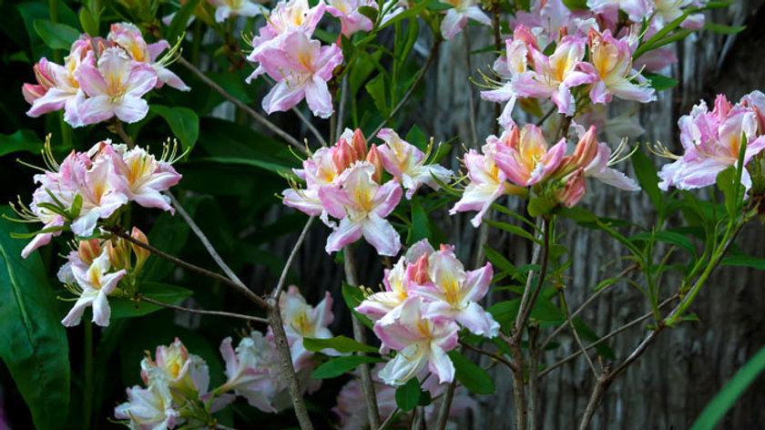 Rhododendron (azalea) Tri-Lights