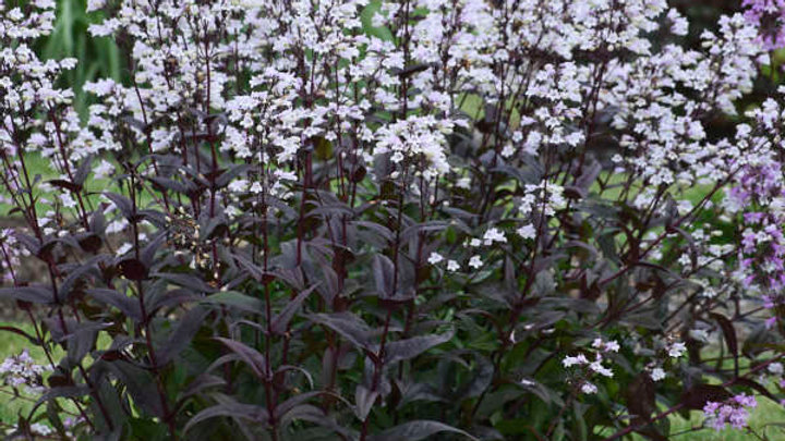 Penstemon Onyx and Pearls
