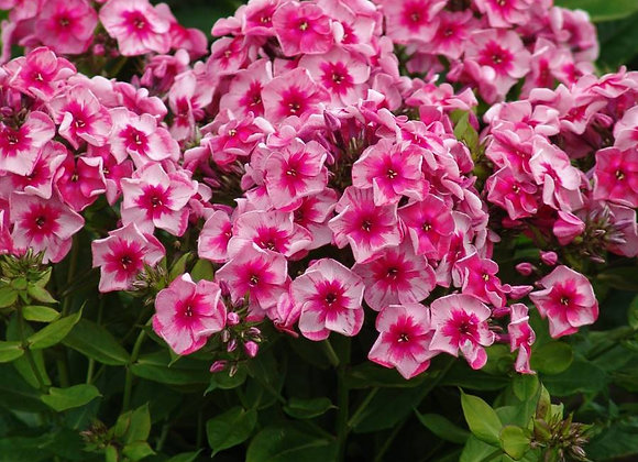 Phlox paniculata Stars and Stripes