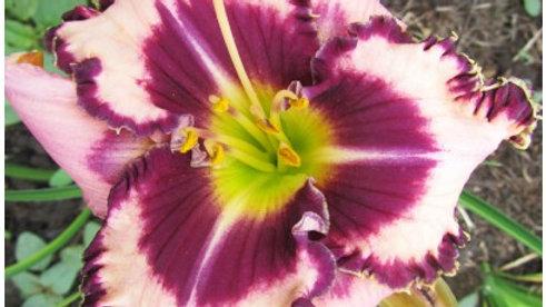 Hemerocallis Purple Flame
