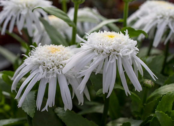 Leucanthemum Double Angel Daisy