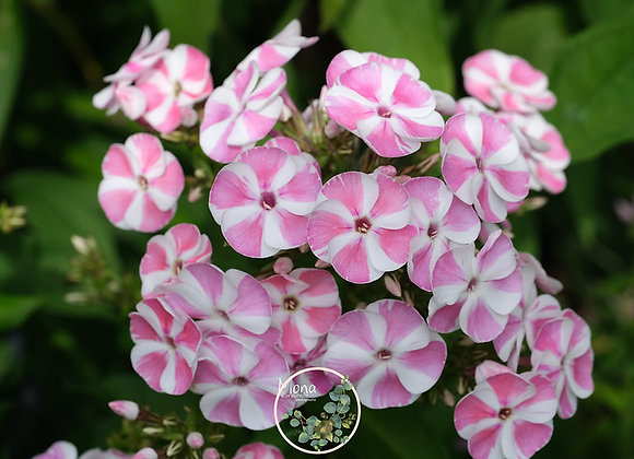 Phlox paniculata Bambini Candy Crush