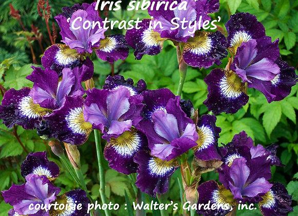 Iris sibirica Contrast in Style