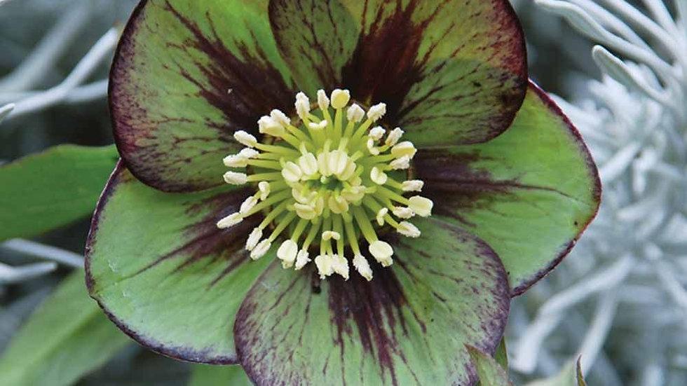 Helleborus Jade Star