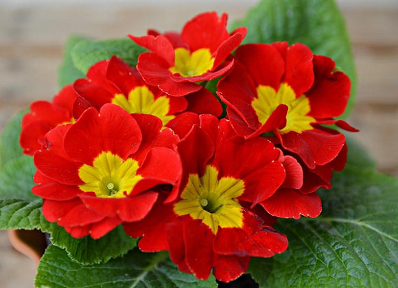 Primula Crescendo Bright Red