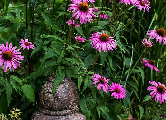 Echinacea purpurea Ruby Star