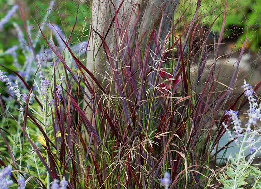 Graminée Panicum Ruby Ribbon