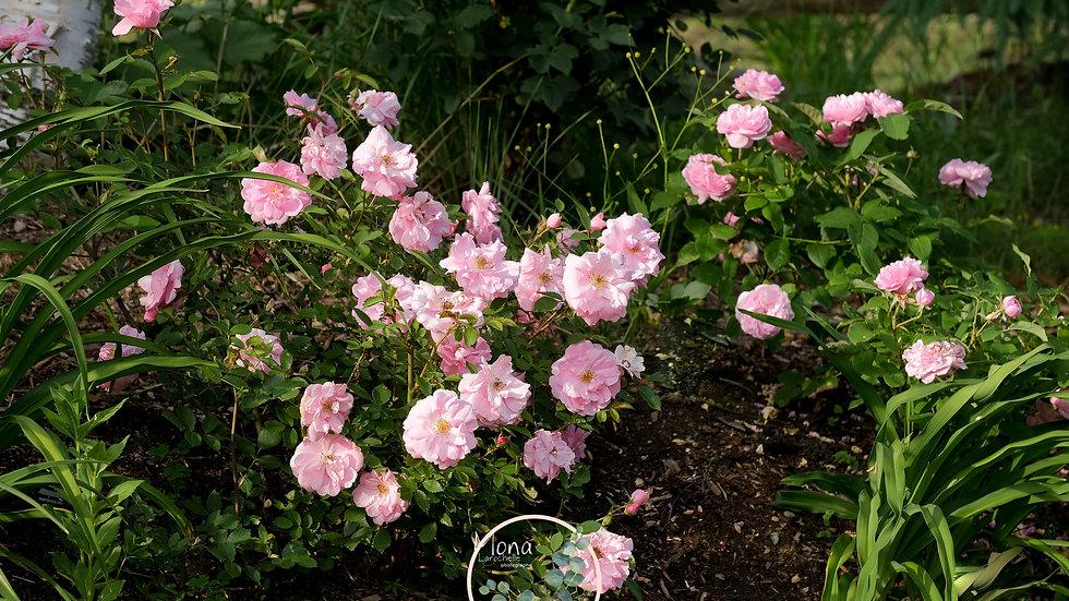 Rosa Morden Centennial