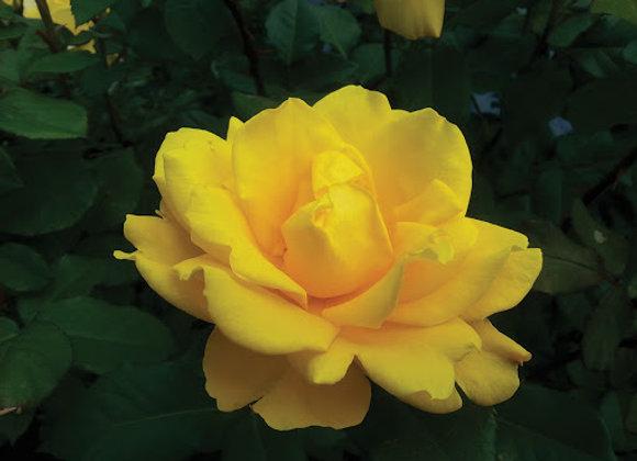 Rosa Yellow Jacket