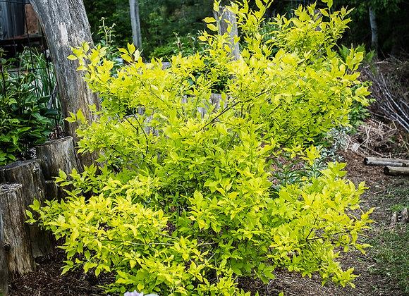 Euonymus chrysophyllus