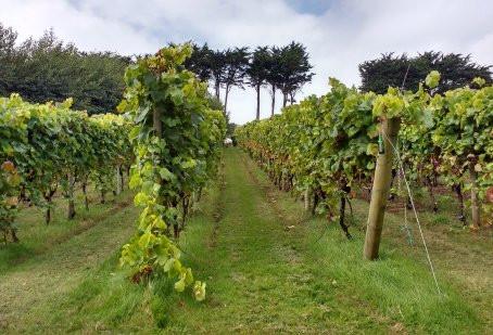 Nouveau domaine viticole dans les polders de Bredene