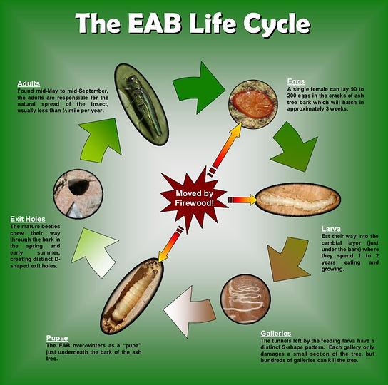 EAB-Life-Cycle.jpg