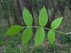 Ash leaves.jpeg