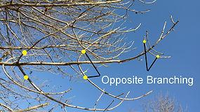 ash-branching.jpg