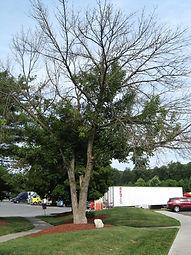 FIRST Dead Ash Tree-TDF.JPG