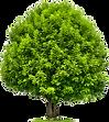 ashtree.png
