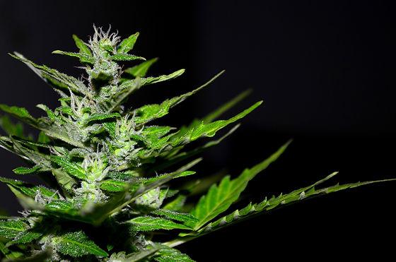 Growing_Cannabis.jpg