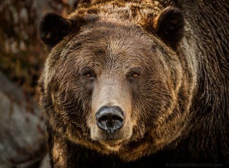 Zvíře síly: medvěd