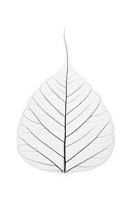bodhi leaf clear.jpg