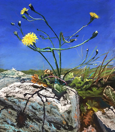 A Dandelion Grows on Inishmore.jpg