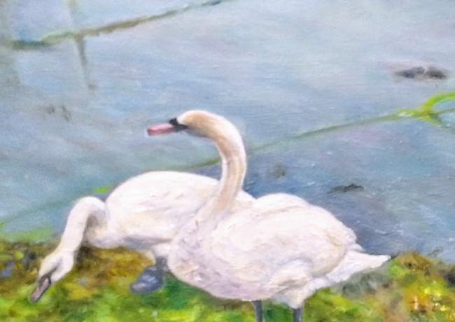 Newlyn Swans