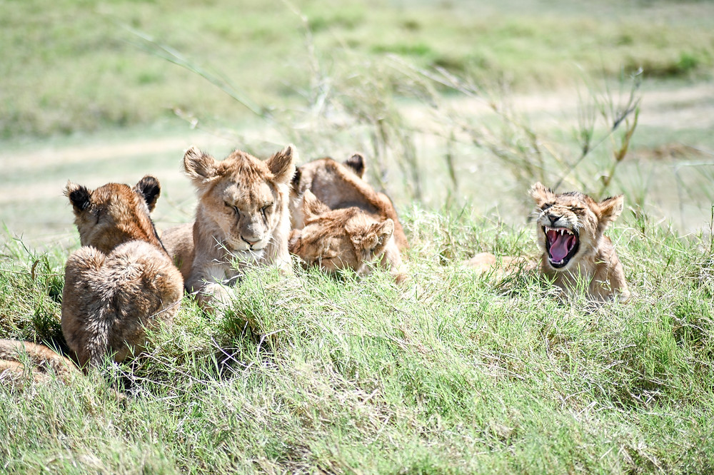 Lion cubs yawning while they wait for the pride to return. | Trac.City