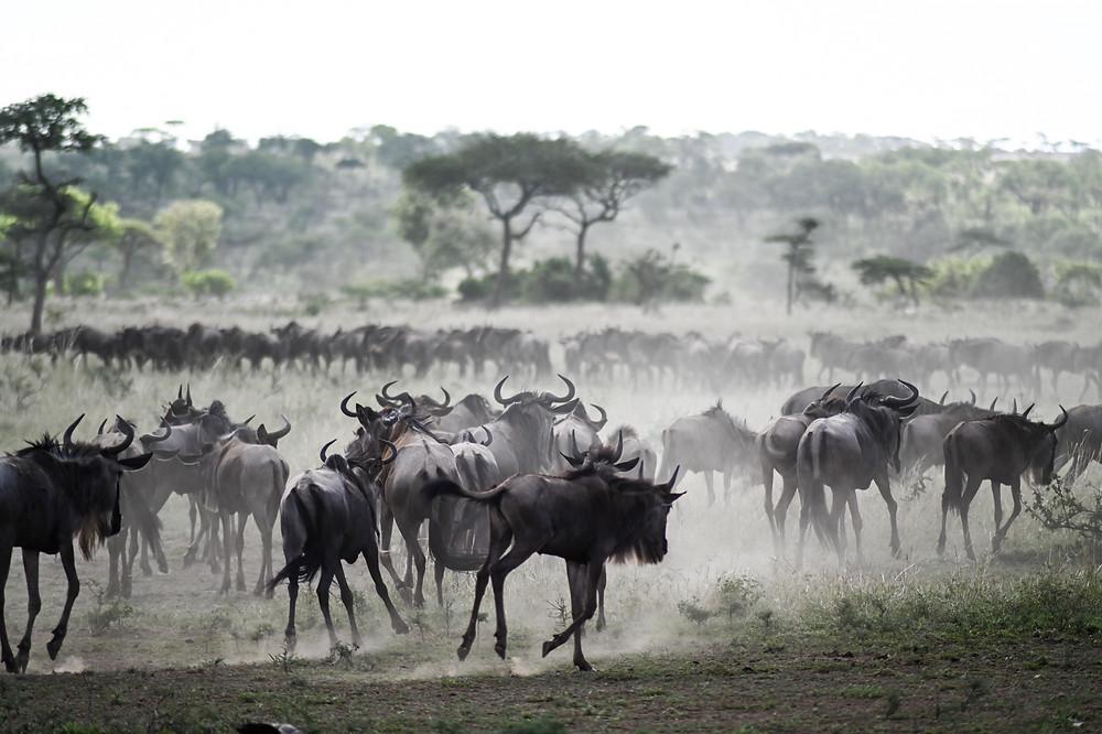 Wildebeast running in Africa, across Northern Serengeti | Trac.City