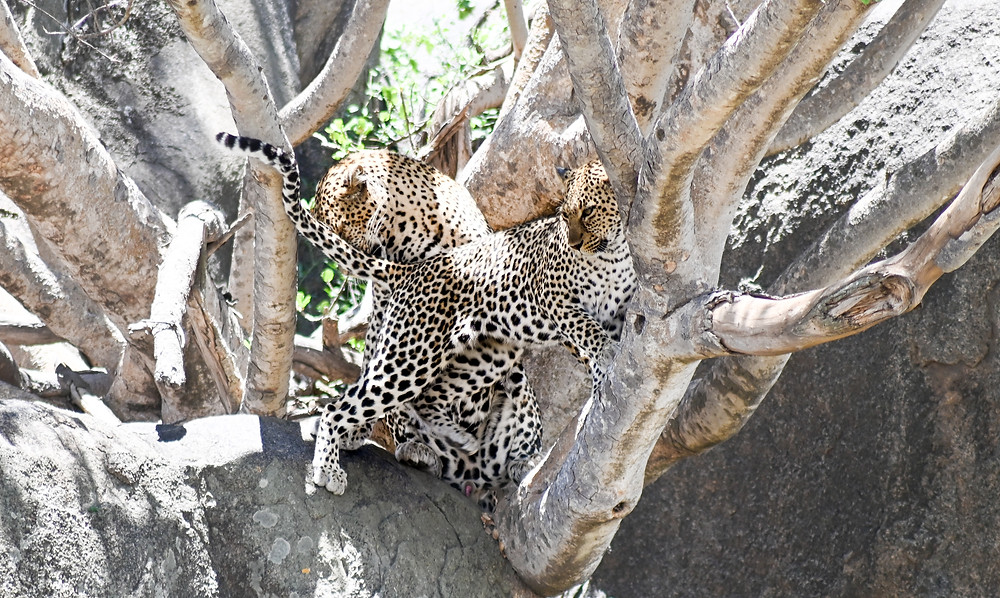Leopards moments before mating. | Trac.City