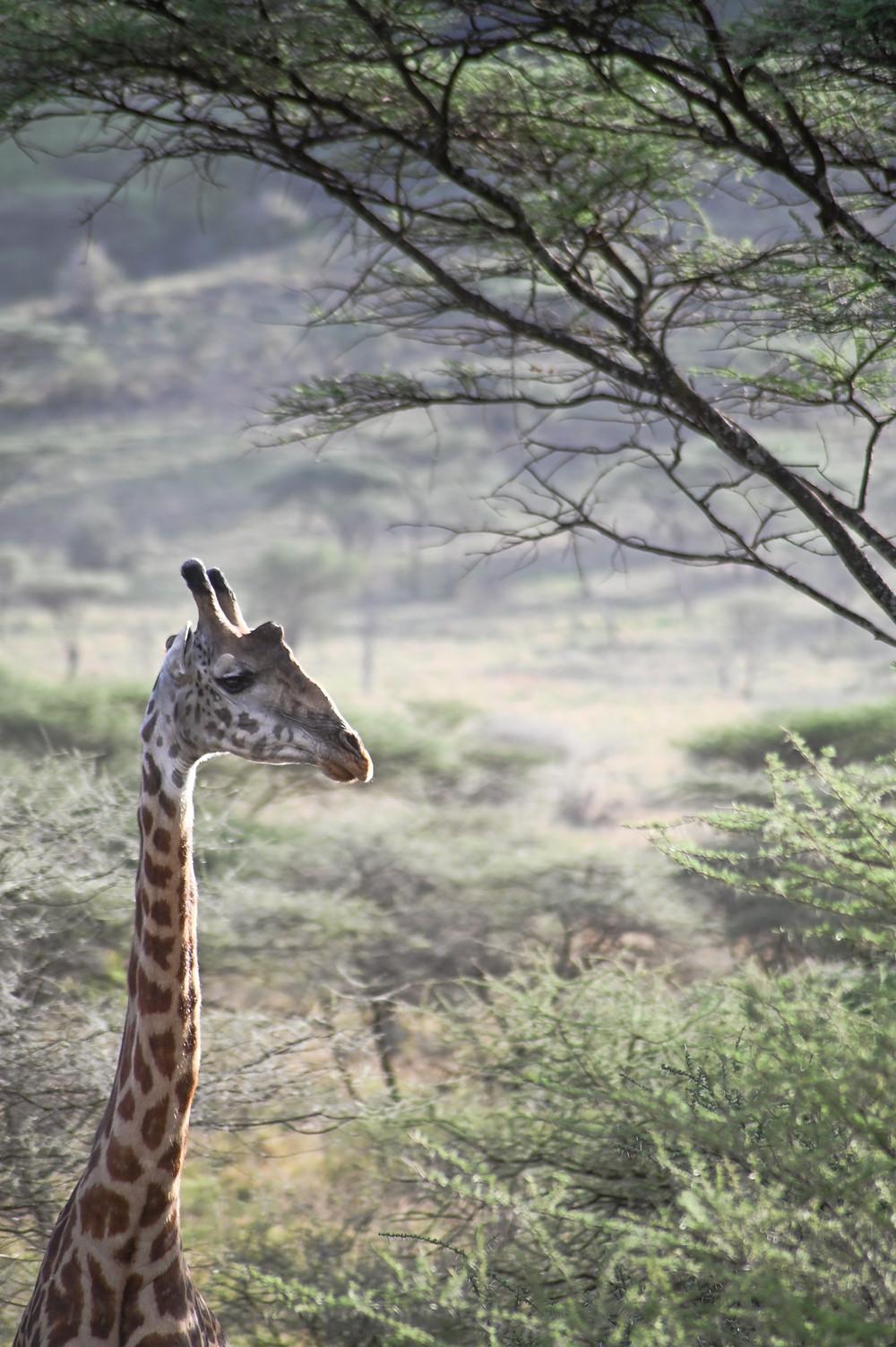 Giraffe among the acacia | Trac.City