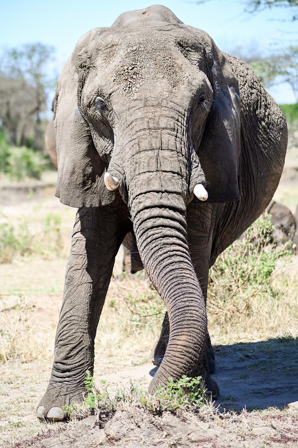 Elephant in Tarangire National Park | Trac.City