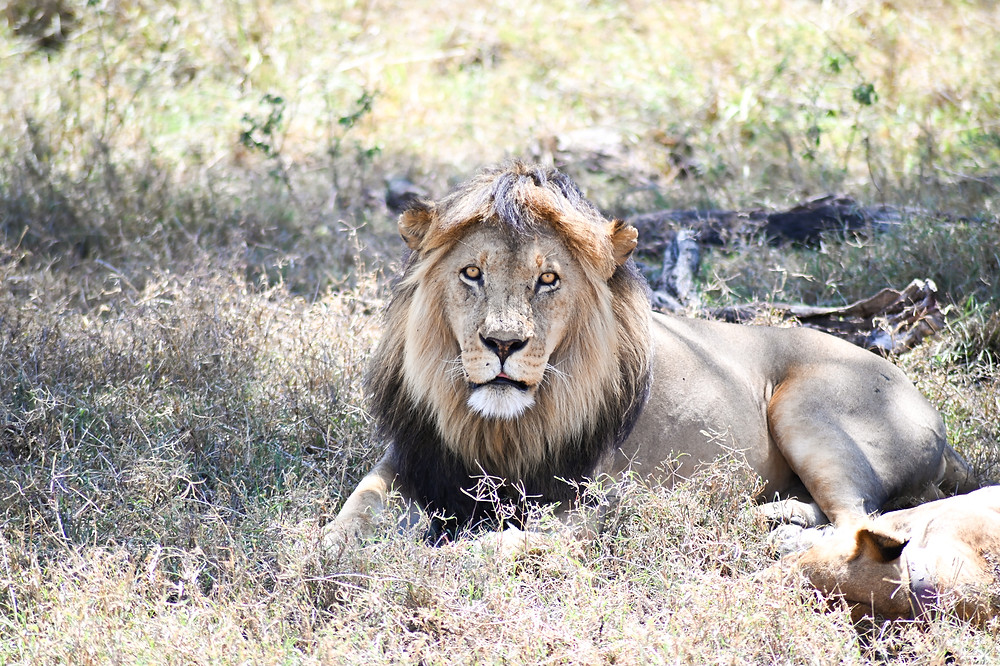 A lion with a lioness beside him in the savannah. | Trac.City