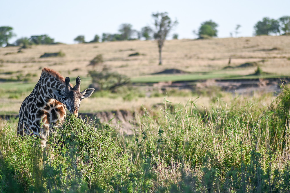 Giraffes -- in the wild!  | Trac.City