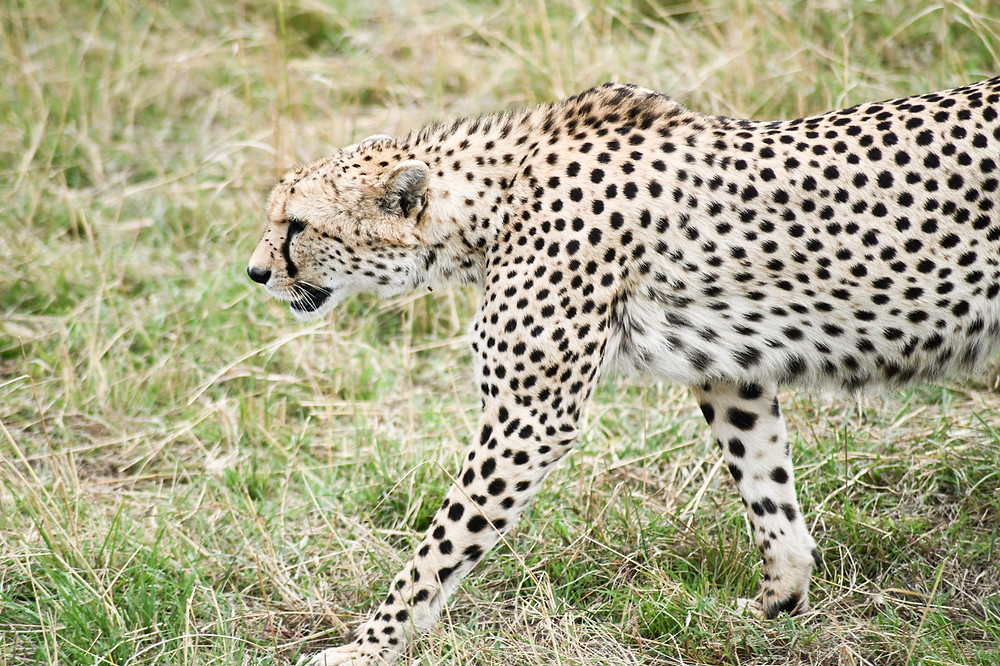 A male cheetah moments before we watched him hunt.| Trac.City